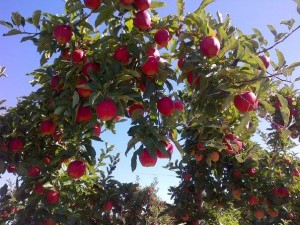 Apples of the Okanagan, Kelowna, B.C. Photo by Diane Duckett