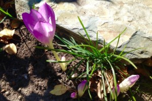 Crocuses in September Bloom