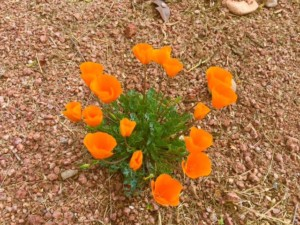 Poppies in the Pebbles. Photo by Joan Friedlander