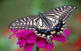 Butterfly of Hope